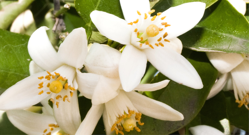 Ingredient_Orange Blossom_300dpi